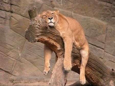 leone-dormiglione